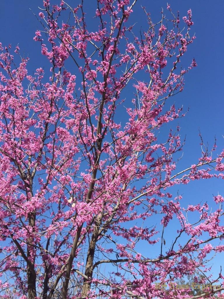 南加州春色。 刘茁摄