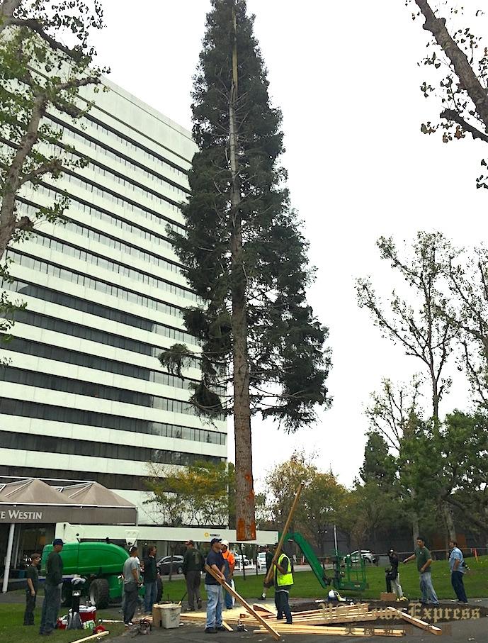 高96呎的白杉被立起。庞可阳摄